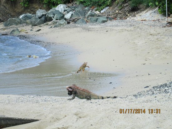 The Buccaneer St Croix: Iguanas visiting the beach