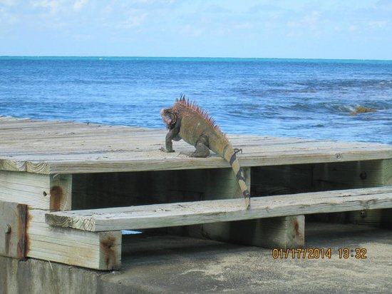 The Buccaneer St Croix: Iguanas visiting the beach