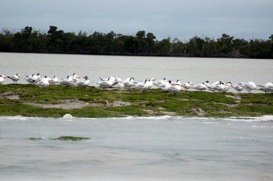 Everglades Birding - Private Tours: Terns of Florida Bay Seen from Capt. Dave's Boat