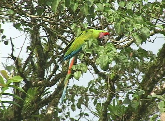 Posada Andrea Cristina: Great Green Macaws rare so great to see