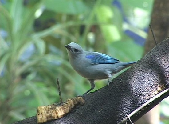 Posada Andrea Cristina: Blue Gray Tanagers right by the breakfast table