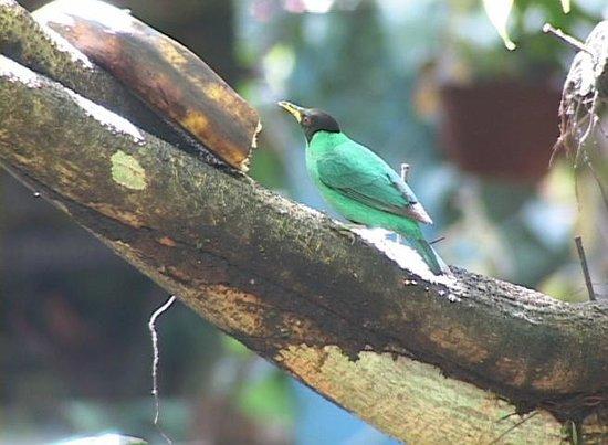 Posada Andrea Cristina: Green Honeycreeper
