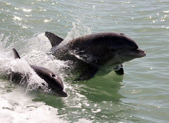 Marco Island Water Sports: Mother and Baby Dolphin