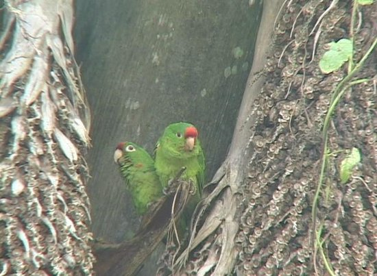 Casa Botania: Crimson-faced parrots fly over in flocks every day!