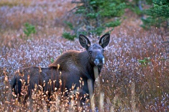 Soda Butte Lodge: Moose