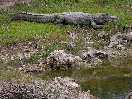 Wooten's Everglades Airboat Tour: Shelley's alligator