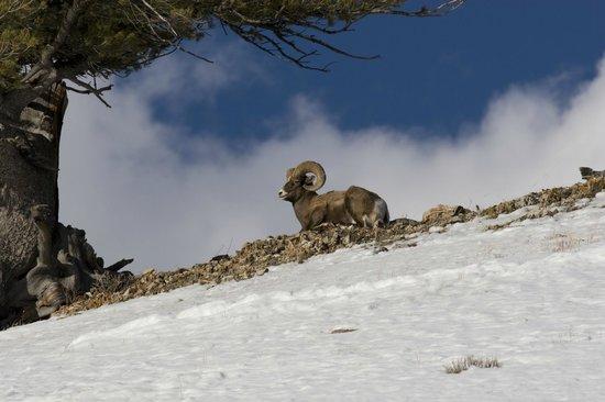 Soda Butte Lodge: Yellowstone Park- Bighorn Sheep