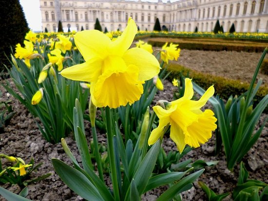 Palacio de Versalles: Lírio do jardim de Versalhes - França - Abril/2013 - Foto Sayuri Murakami.