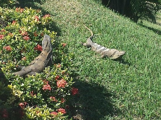 Occidental Papagayo - Adults only: A couple of Iguanas