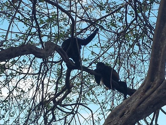 Occidental Papagayo - Adults only: Two Howler Monkeys playing in the trees outside our room