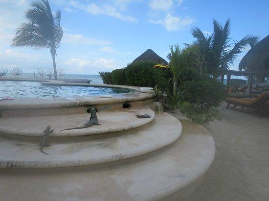 Villas Flamingos: iguanas