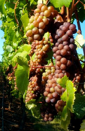Chateau Bianca Winery: Some of our famous Pinot Noir grapes