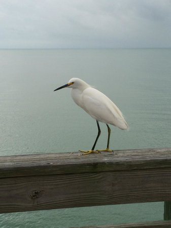Venice Fishing Pier: Fearless Seabirds