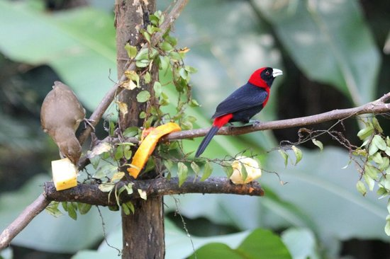 Dave & Dave's Costa RIca Nature Pavilion Park : Crimson-collared Tanager