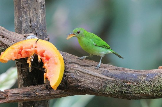 Dave & Dave's Costa RIca Nature Pavilion Park : Green-honeycreeper