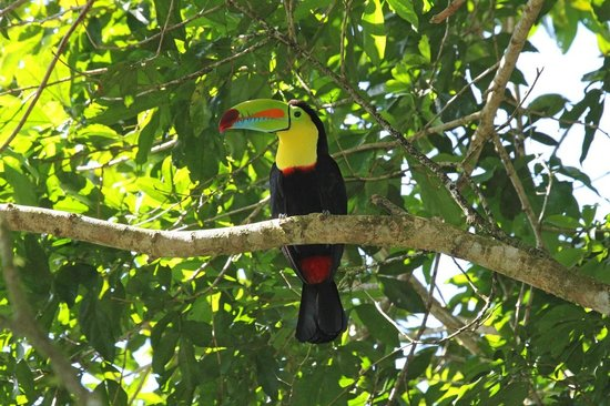Dave & Dave's Costa RIca Nature Pavilion Park: Keel-billed Toucan