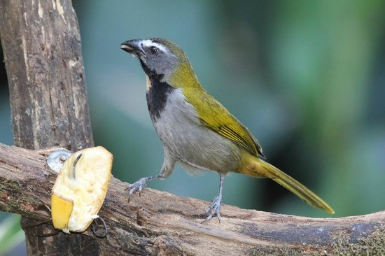 Dave & Dave's Costa RIca Nature Pavilion Park: Buff-throated Saltator