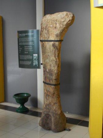 Museo Paleontologico Egidio Feruglio: Fémur