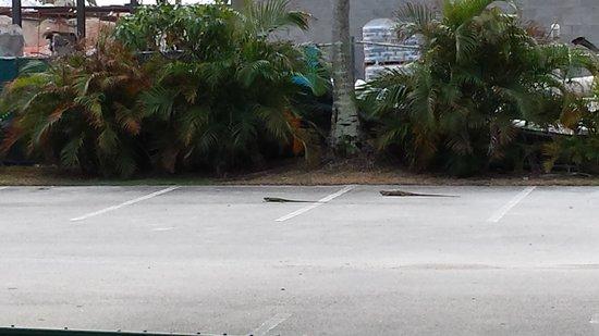 Silver Sands Beach Resort : Where iguanas rule