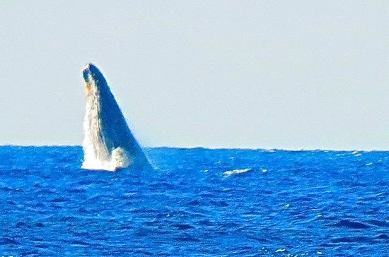 Grand Wailea - A Waldorf Astoria Resort : Oh Yeah, the whales are here, too.