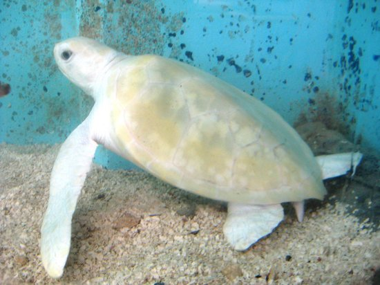 Tortugranja (Turtle Farm): white sea turtle