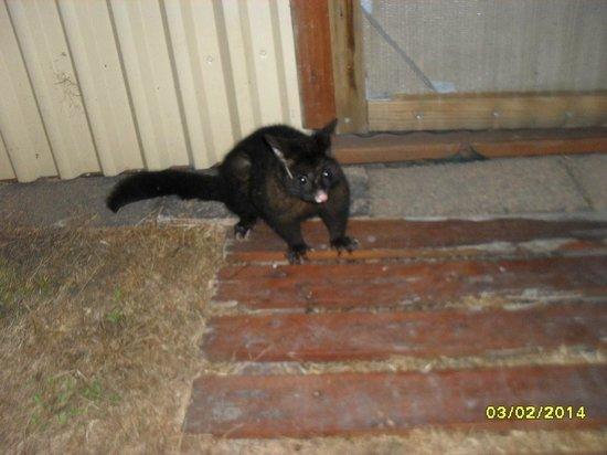 BIG4 Kelso Sands Holiday Park: Possum