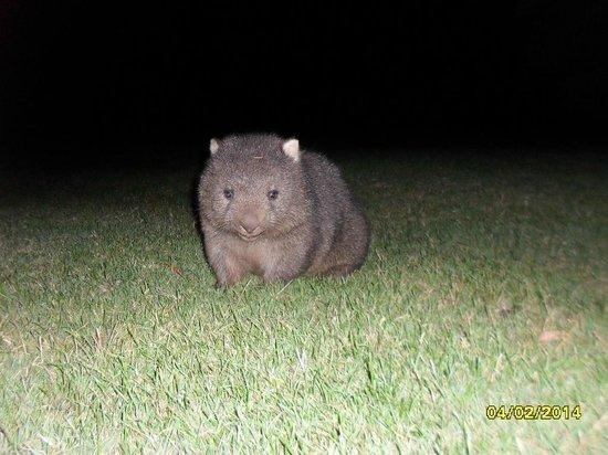 BIG4 Kelso Sands Holiday Park: Wombat