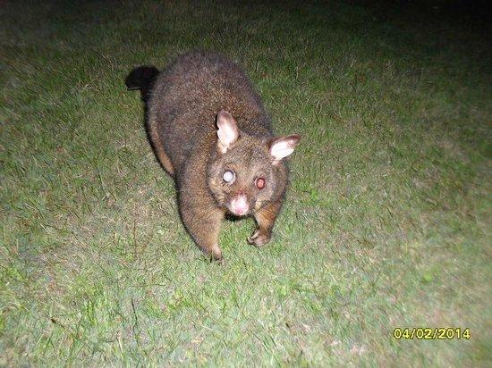 BIG4 Kelso Sands Holiday & Native Wildlife Park: Possum