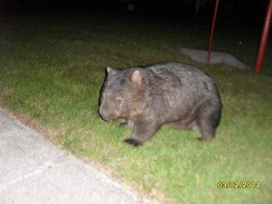 BIG4 Kelso Sands Holiday & Native Wildlife Park: Wombat