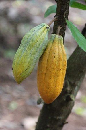Princeville Botanical Gardens - Tours: Cocoa