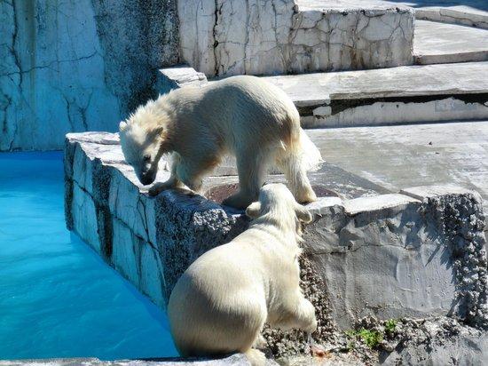 Maruyama Zoo: しろくまの双子