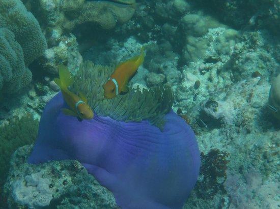 Filitheyo Island Resort : POISSONS CLOWNS