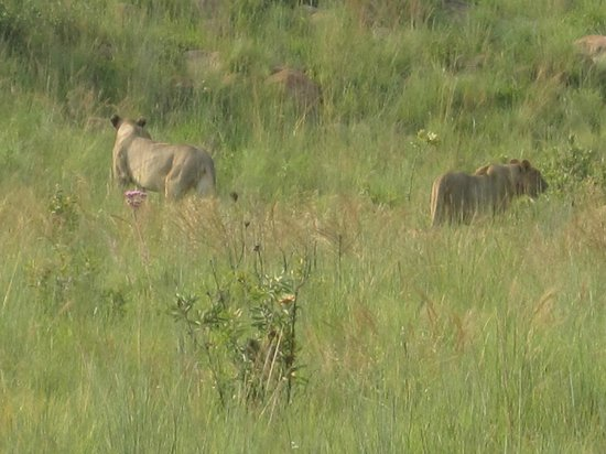 Welgevonden Nature Reserve: Lioness and mature cubs resting by killClose encounter