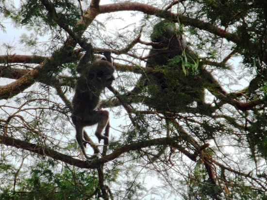 Kibale Forest Camp: Chimps
