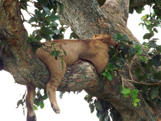 Ishasha-Ntungwe River Camp: Tree Climbing Lions
