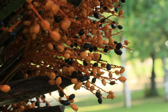 Vivanta by Taj Rebak Island, Langkawi: dates in a tree in front of the dining area.