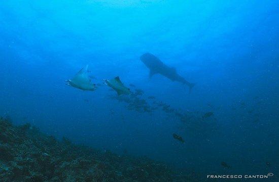 Island Divers: mobule e squalo balena