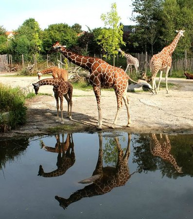 Odense ZOO : Длинношеее животное - жираф