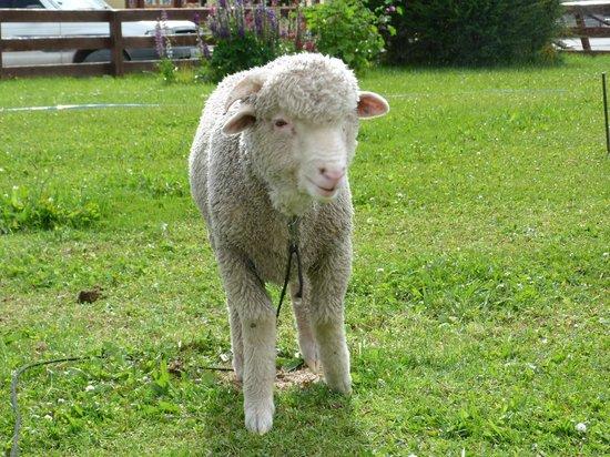 Albergue lo de Trivi: Una de las ovejas rescatadas