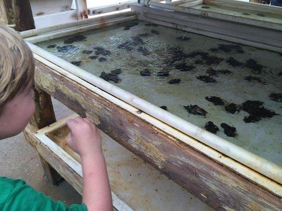 Caicos Conch Farm: Some baby conch
