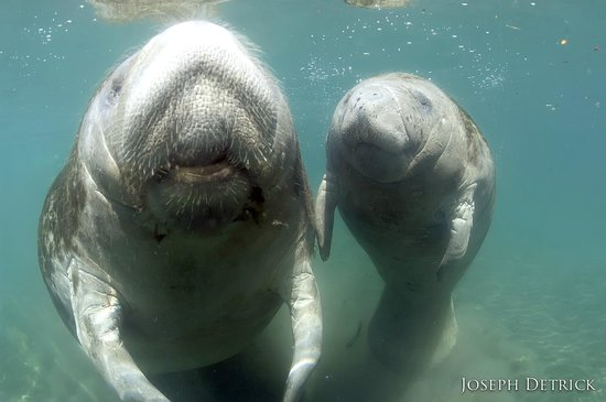 Crystal River, FL: Mother and Baby Manatee by Capt Joe