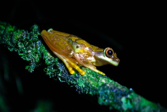 Arenal Oasis Eco Lodge & Wildlife Refuge: Grenouille jaune