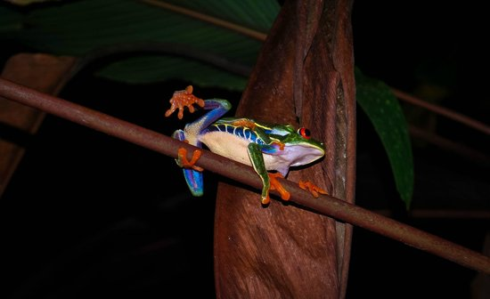 Arenal Oasis Eco Lodge & Wildlife Refuge: Grenouille sur branche