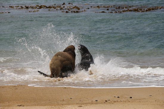 Kenthurst Lodge B & B: Sea lions seen in a beach on the way to Kaka Point from Riverton where there is a lighthouse