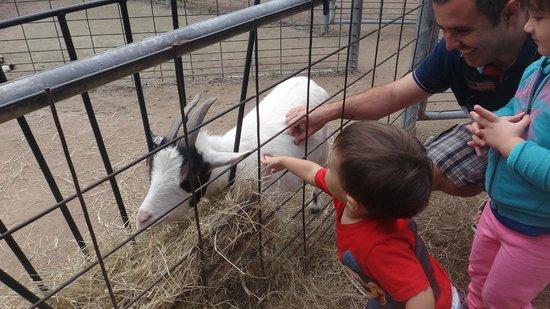 Jungle Island: Interação com cabras