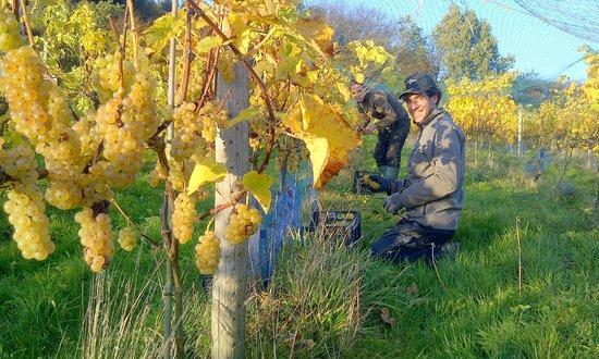 Sedlescombe Organic Vineyard: Harvesting grapes for the Premier Brut sparkling wine