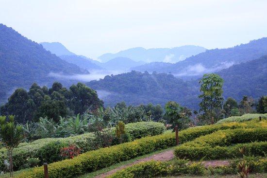 Bwindi Impenetrable National Park : Bwindi Forest from Silverback Lodge V