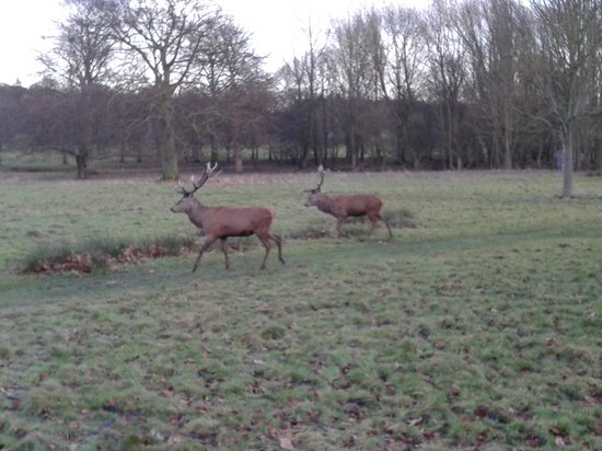 Wollaton Hall and Park: Cervi