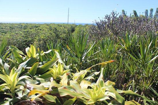 Kauai Coffee Company: Plantation