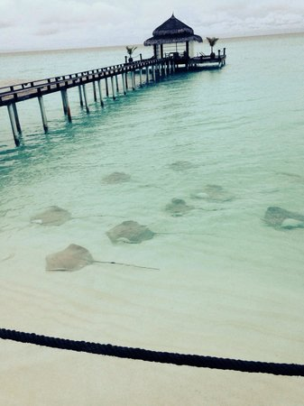 Kuramathi Island Resort: Stingrays waiting for dinner! (They feed them every night at the Laguna bar 6.30pm. Get there ea